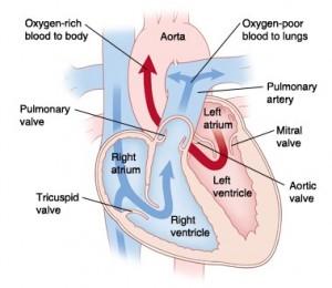 Normal heart blood flow